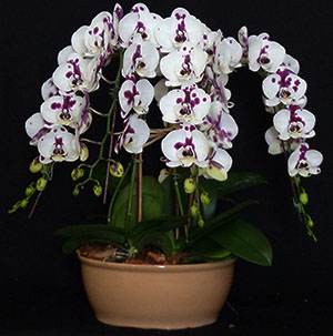 Waterfall Orchids Worldwide Orchids The Founder Of